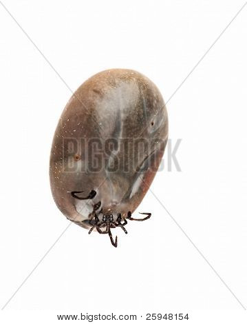 Large tick (Ixodes ricinus) isolated on white