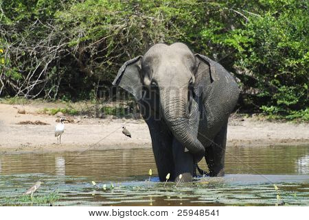 Wild elephant (lephus maximus vilaliya) having a bath. Safari in a National Park Yala, Sri Lanka
