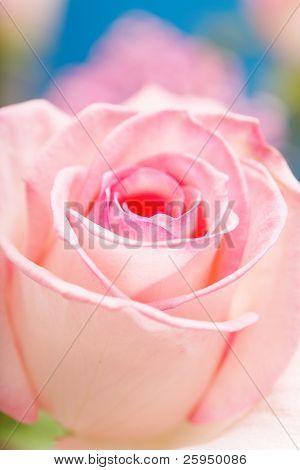 Pink Hybrid Tea Rose. Short depth-of-field