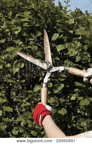 Cutting hedge with old and worn hedge clippers