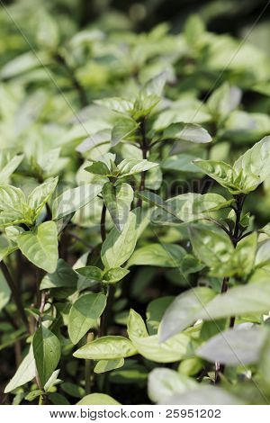 Cinnamon basil is a cultivar  of Ocimum basilicum (sweet basil). It contains cinnamate, the same chemical that gives cinnamon its flavor, and has the strongest scent of cinnamon.