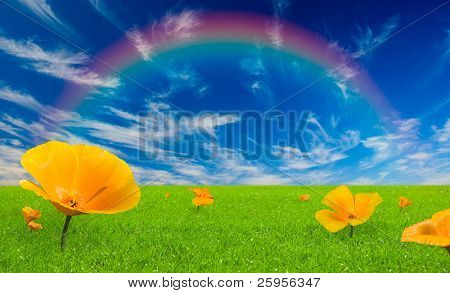 Beautiful meadow with green grass and vibrant yellow flowers. The fleecy clouds sky with rainbow above the meadow.