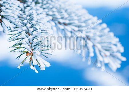 Ramas de pino en la nieve contra el cielo azul