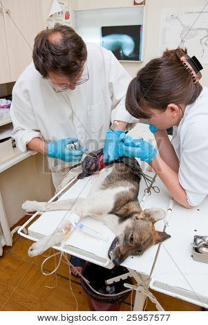 Veterinarian makes surgery the dog with fracture back paws. Nurse helps him.