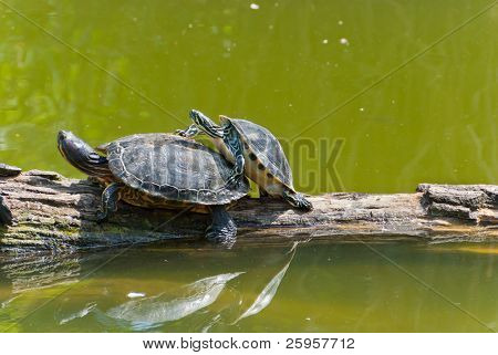 Two copulating turtles on a tree in water