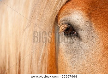 Gentle Eye of a blonde Belgian Draft Horse gelding