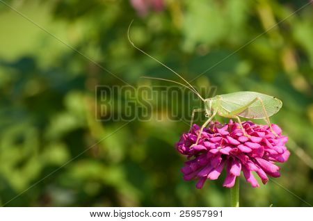 True Katydid in pink Zinnia flower
