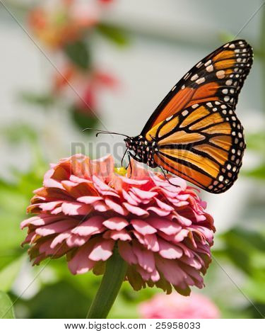 Monarch butterfly feeding on pink Zinnia