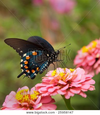 Green Swallowtail Butterfly on double pink Zinnia
