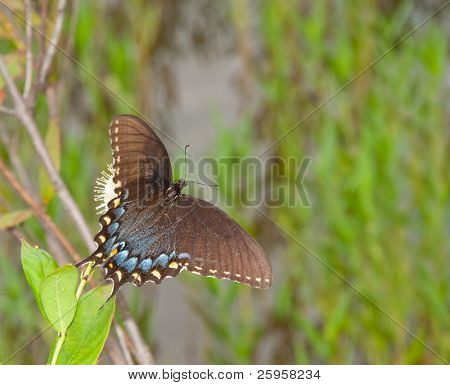 Black morph of Eastern Tiger Swallowtail butterfly on buttonbush