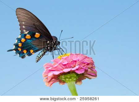 Green Swallowtail on a pink Zinnia against blue sky