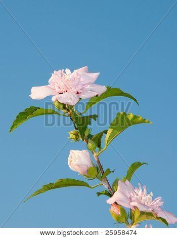 Beautiful light pink Althea flower