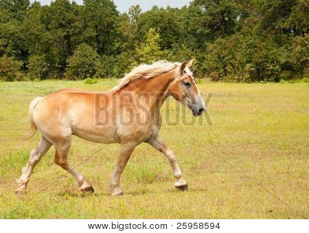 Beautiful Belgian Draft horse in an uphill trot across the pasture