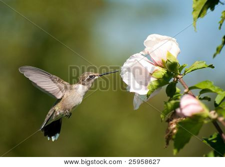 Beautiful Ruby-throated Hummingbird feeding on a light pink Althea flower