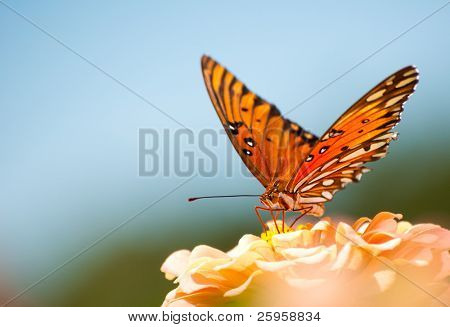 Colorful Gulf Fritillary, Agraulis vanillae, feeding on a coral colored Zinnia against blue skies