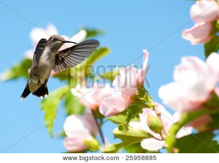 Juvenile male Ruby-throated hummingbird getting ready to feed on an Althea flower