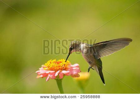 Tiny Hummingbird feeding on Zinnia flower