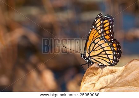 Brilliantly colored Viceroy butterfly resting on a dry leaf against muted fall color background with copy space