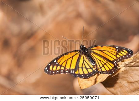 Brilliant Viceroy butterfly against muted brown background with copy space
