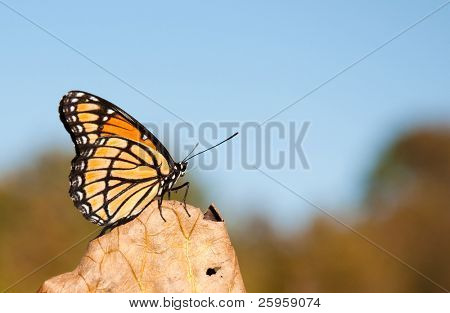 Beautiful Viceroy butterfly resting on a dry leaf against blue skies and muted fall colors with copy space