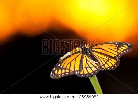 Colorful Viceroy butterfly resting on a flower against orange and yellow sunset sky