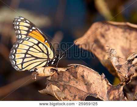 Opposites - beautiful colorful Viceroy butterfly resting on an ugly dead waterlily leaf
