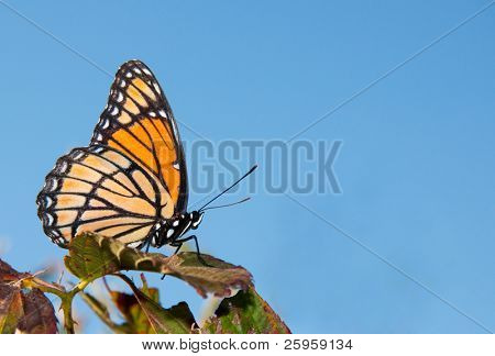 Black and orange Viceroy butterfly resting in a blackberry bush against blue skies