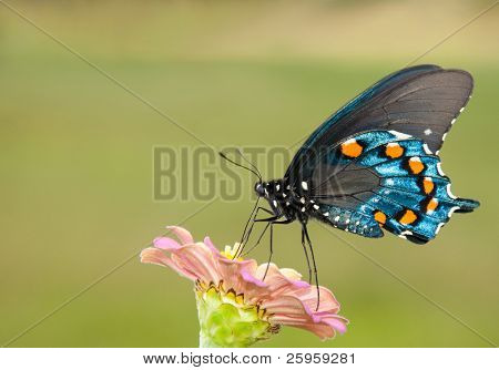 Pipevine swallowtail feeding on a Zinnia