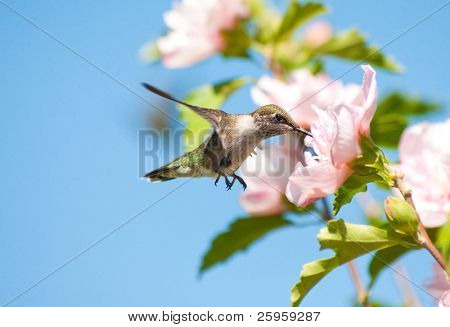 Tiny juvenile Hummingbird feeding on a light pink Althea flower