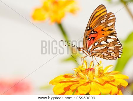 Ventral view of a brightly colored Agraulis vanillae, Gulf Fritillary, feeding on an orange flower