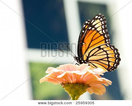 Beautiful Viceroy butterfly feeding on a light orange Zinnia with a paned window background