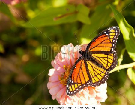 Dorsal view of a colorful Viceroy butterfly feeding on a light pink Zinnia flower