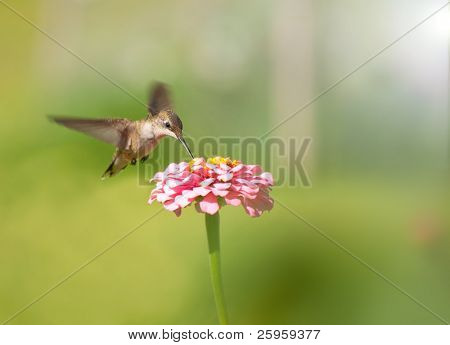 Tiny female Hummingbird feeding on a pink Zinnia flower against green background