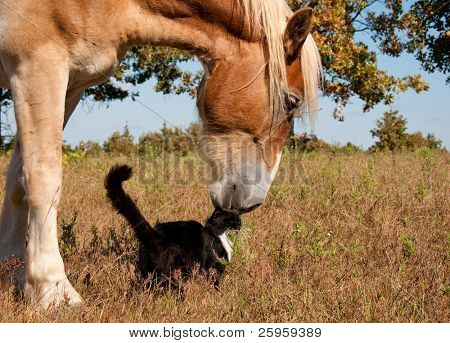 Friends come in all sizes and colors - a small black and white cat and his huge blond Belgian Draft horse friend