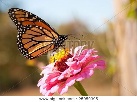 Migrating Monarch butterfly refueling on a bright pink Zinnia flower