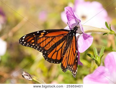 Migrating Monarch butterfly replenishing its energy supply by feeding on a pink Petunia flower on a sunny day