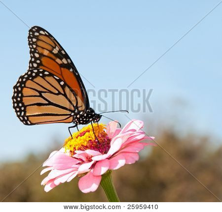 Beautiful Monarch butterfly feeding on a pink Zinnia against blue skies