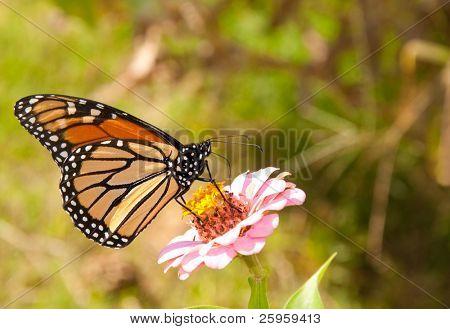 Beautiful Monarch butterfly feeding on a pink Zinnia