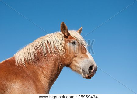Gorgeous Belgian Draft horse against blue skies