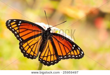 Limenitis archippus, Viceroy butterfly, feeding on a flower