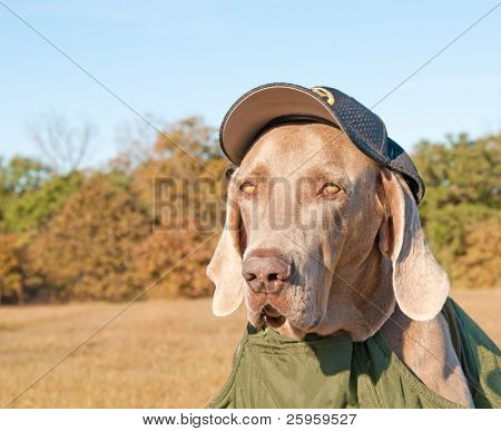 Comical image of a Weimaraner dog wearing a sheriff's cap and a bullet proof vest, looking like he's evaluating the viewer
