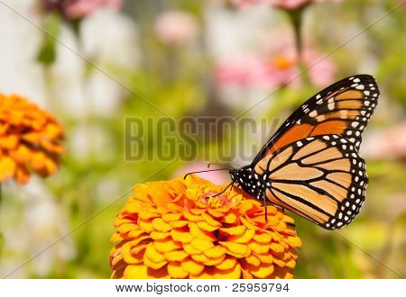 Beautiful Danaus plexippus, Monarch butterfly, feeding on an orange flower