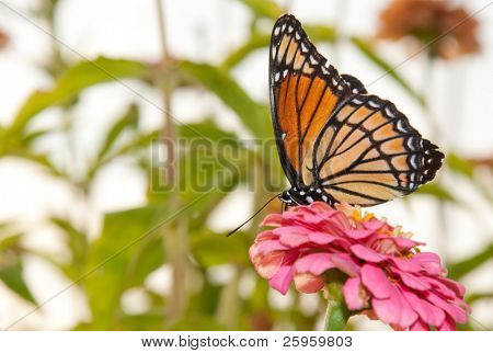 Colorful Viceroy feeding on a pink flower in garden