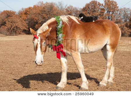 Cute image of a huge Belgian Draft horse wearing a Christmas wreath and a bow in his forelock, his little kitty cat friend riding on his broad back