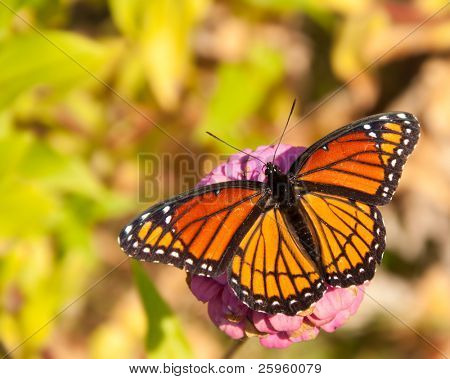 Dorsal view of a brilliant Viceroy butterfly