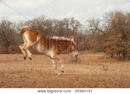 Belgian Draft horse bucking while running in a fall pasture