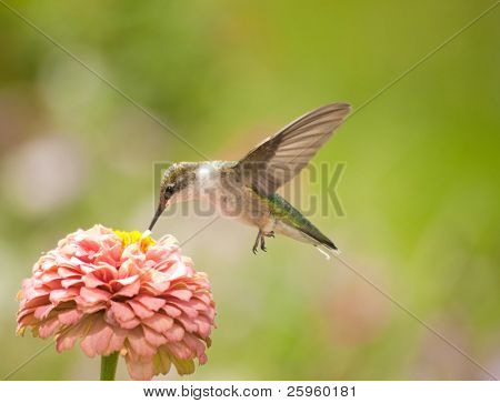 Beautiful Hummingbird feeding on a light pink Zinnia