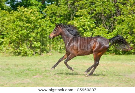 Beautiful dark bay Arabian horse galloping across a green summer pasture