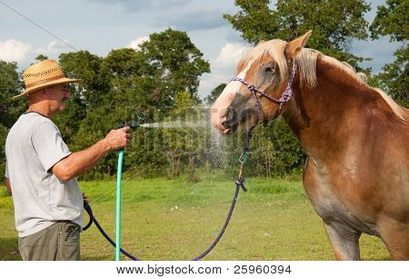 Sweaty Belgian Draft horse enjoying splashes of water while getting bathed with cool water on a hot summer day
