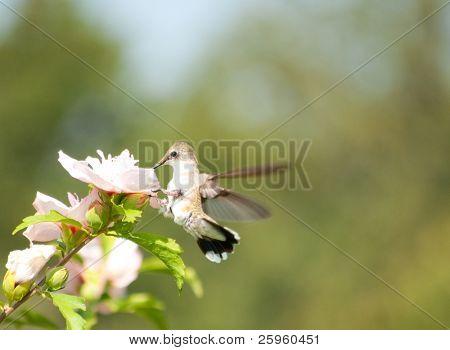 Tiny female Hummingbird feeding on a white Althea flower